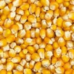corn, gmos, cooking tips, the three tomatoes