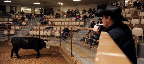 AMARILLO, TEXAS, Amarillo Cattle Auction, driving diva, gerry davis, the three tomatoes