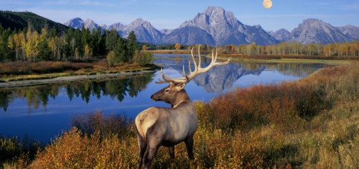05 Mar 2006, Grand Teton National Park, Wyoming, USA --- Bull Elk Standing on Banks of Snake River --- Image by © Buddy Mays/Corbis