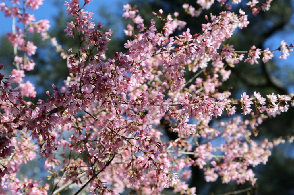 La Life First Tuesdays Poetry Women S Day Cherry Blossoms The Three Tomatoes