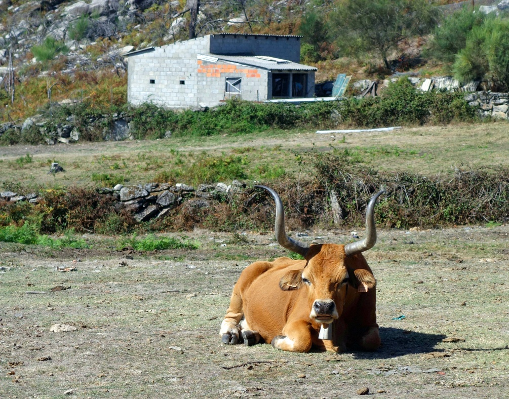 Dodging Cows in the Peneda-Gerês In Portugal's Minho Region