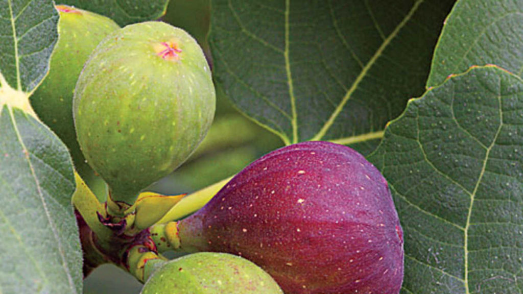 Fig Tree Fears