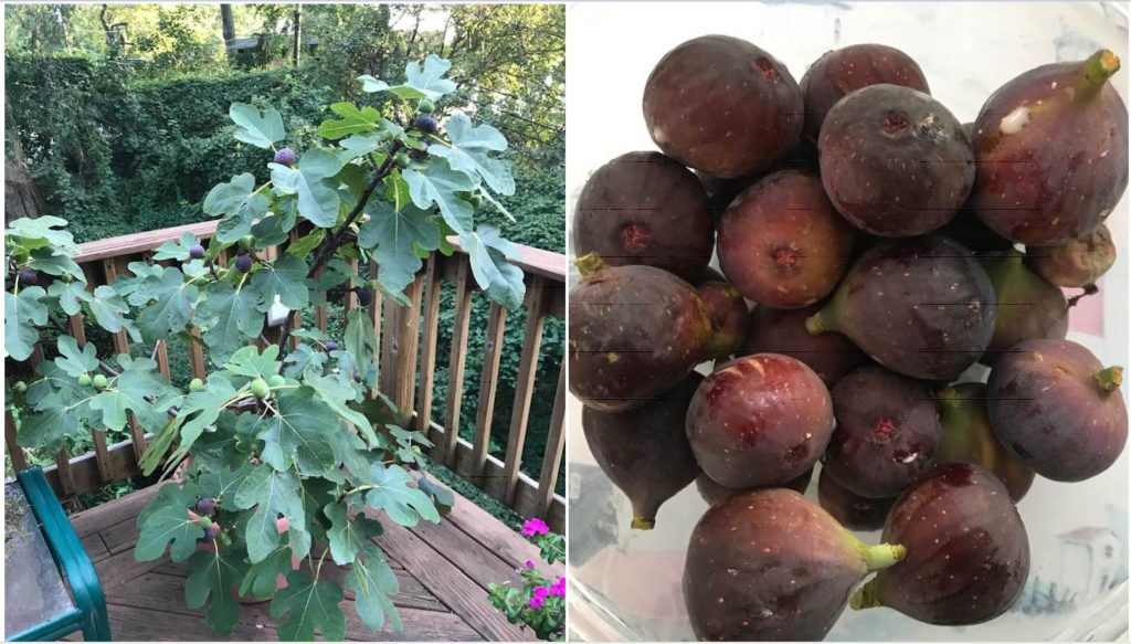 Two Delicious Fig Recipes