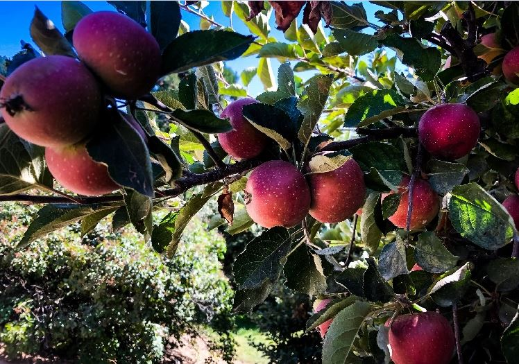 LA LIFE: Apples, AVOFEST, Halloween, Oakridge Estates, Napa