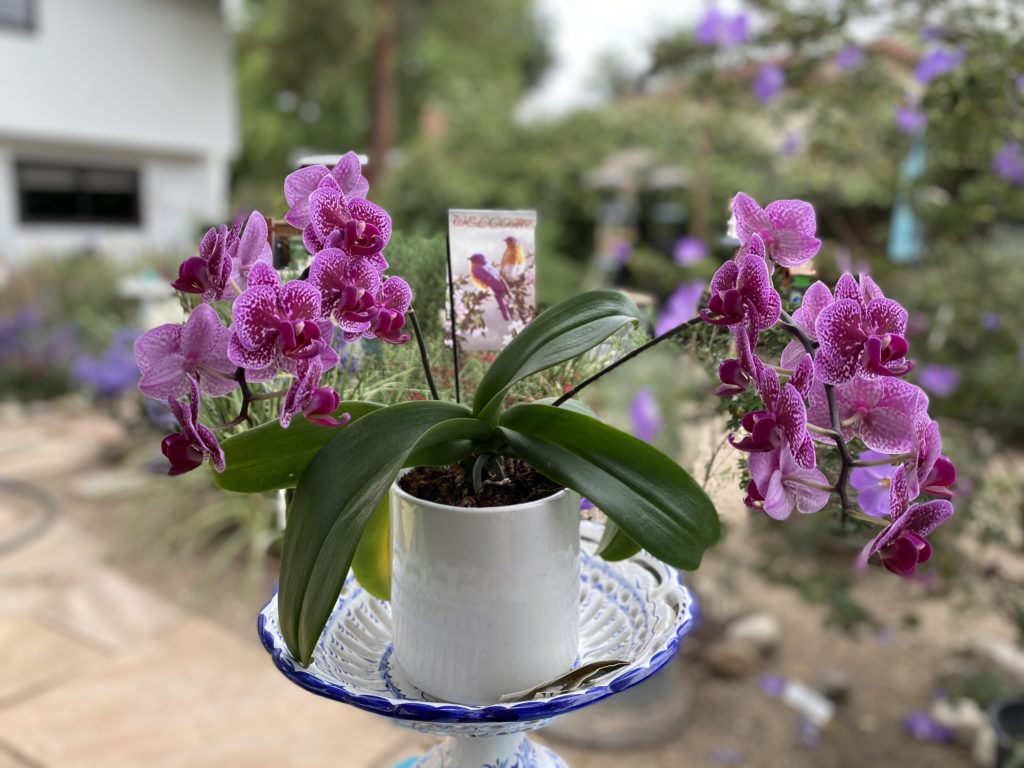 My Miracle Orchid